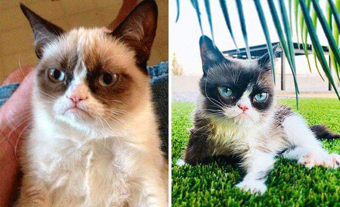 Grumpy Cat Internet Celebrity Meme Stars